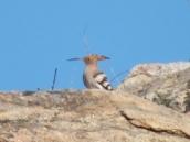 HoopoeBird