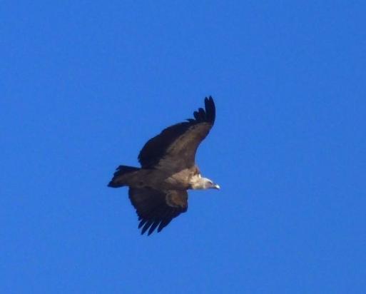 vulture griffin